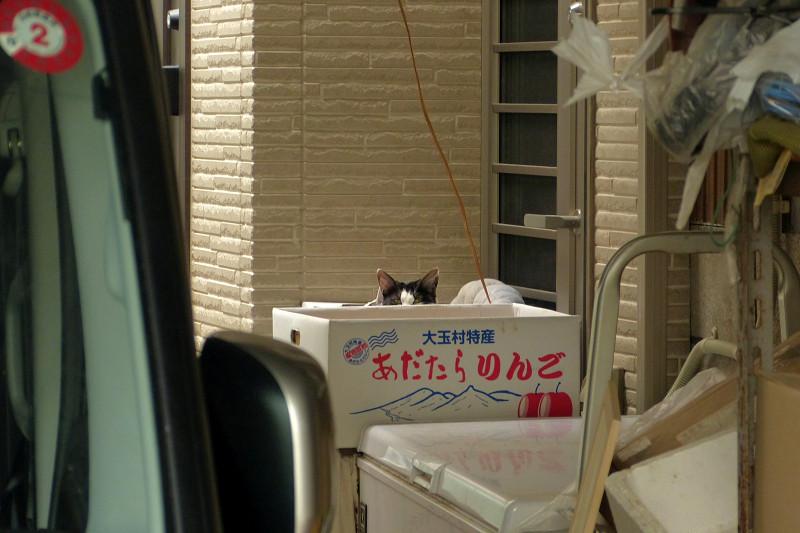 リンゴ箱の黒白猫1