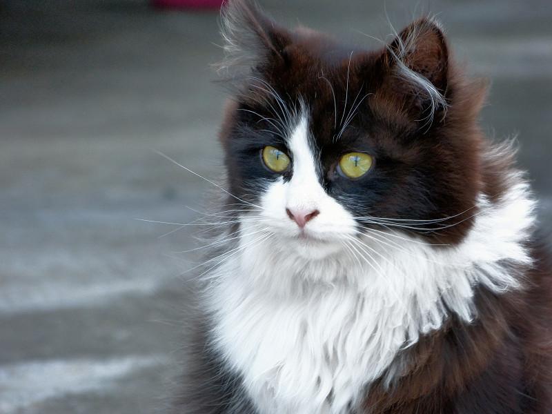 ふわふわ毛長の黒白猫2