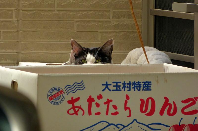 リンゴ箱の黒白猫2