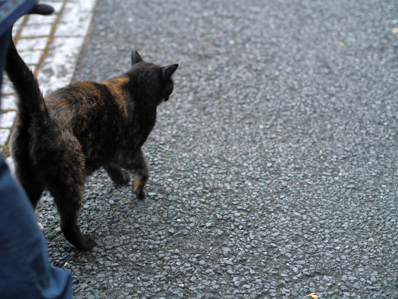 門柱から降りて来た黒サビ柄猫3