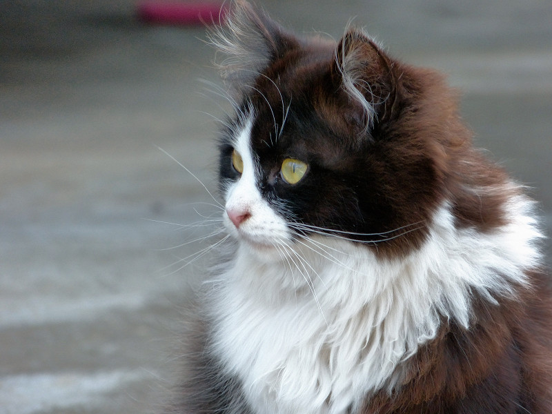 ふわふわ毛長の黒白猫3
