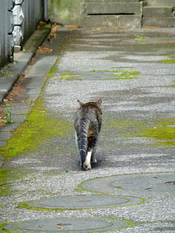 路地を歩くキジ白猫1