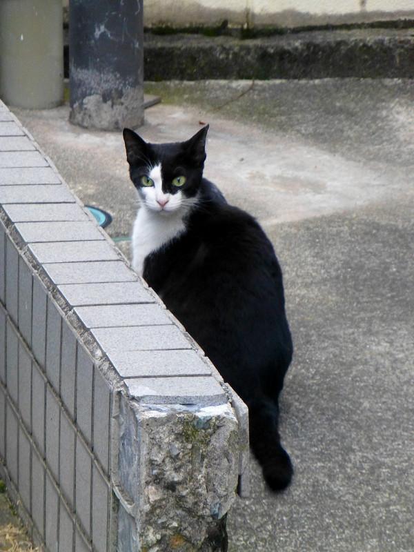 振り返る黒白猫1