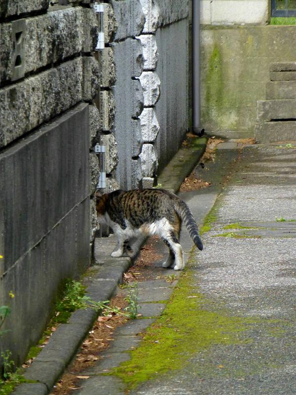 路地を歩くキジ白猫2