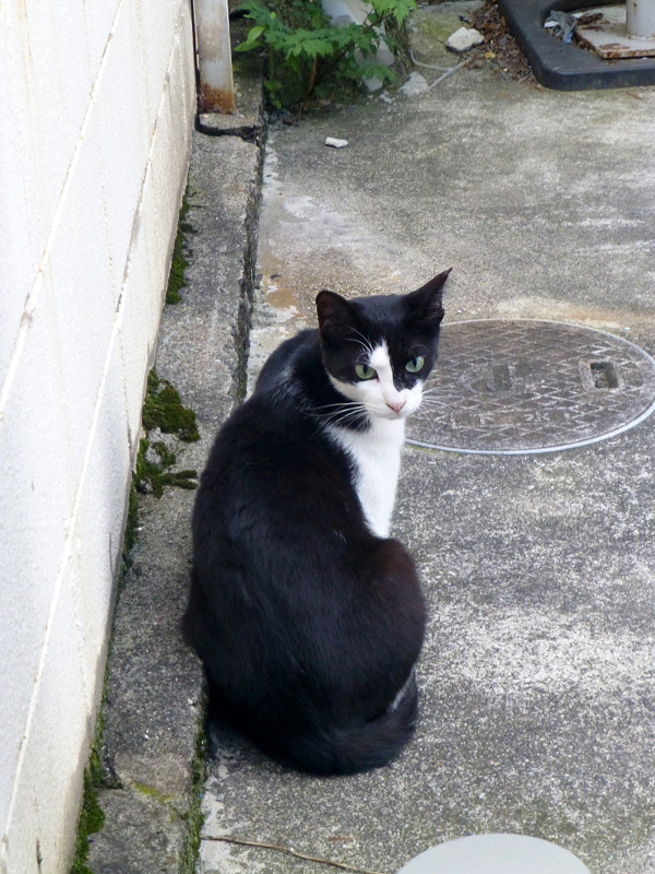振り返る黒白猫2
