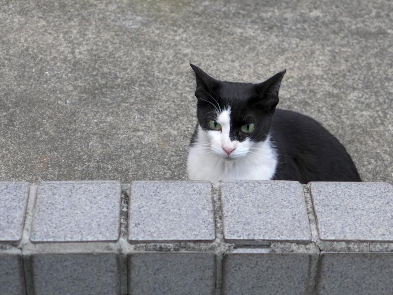 振り返る黒白猫3