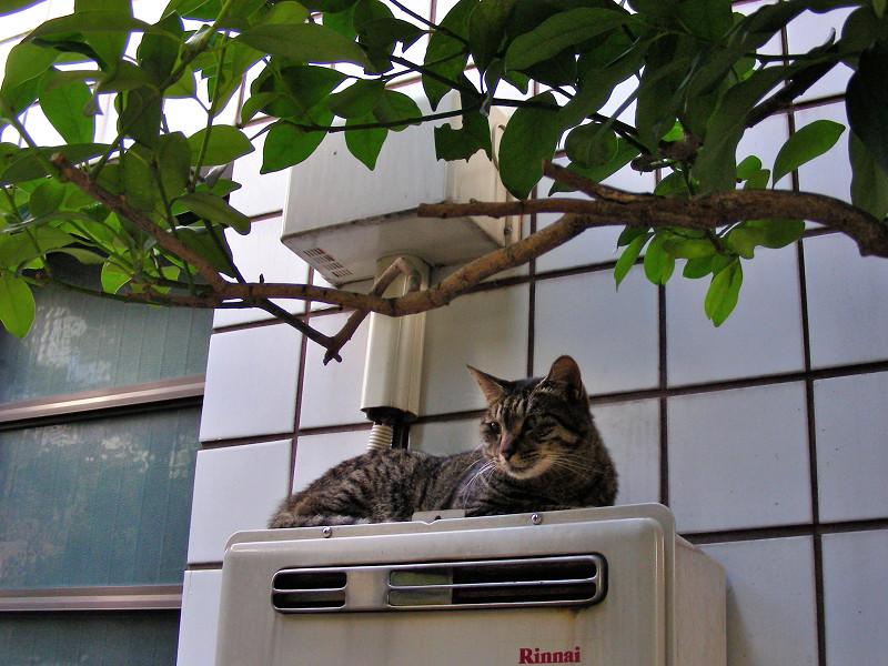 室外機Rinnaiとキジトラ猫1