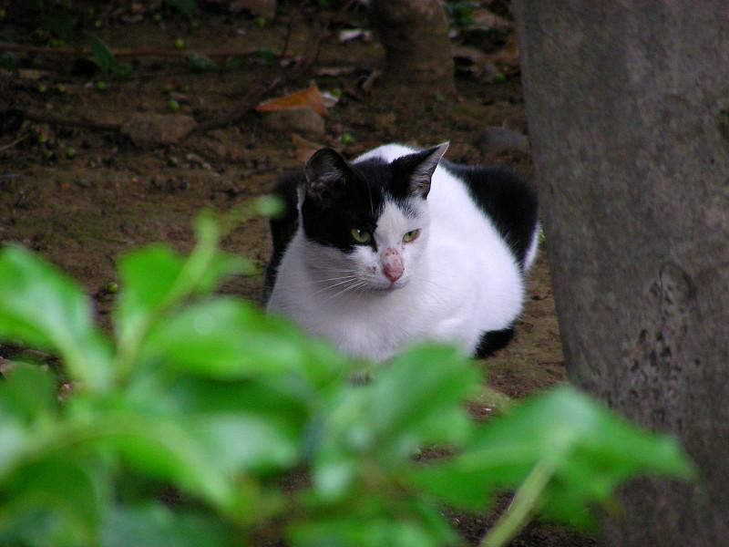 茂みの中の香箱猫