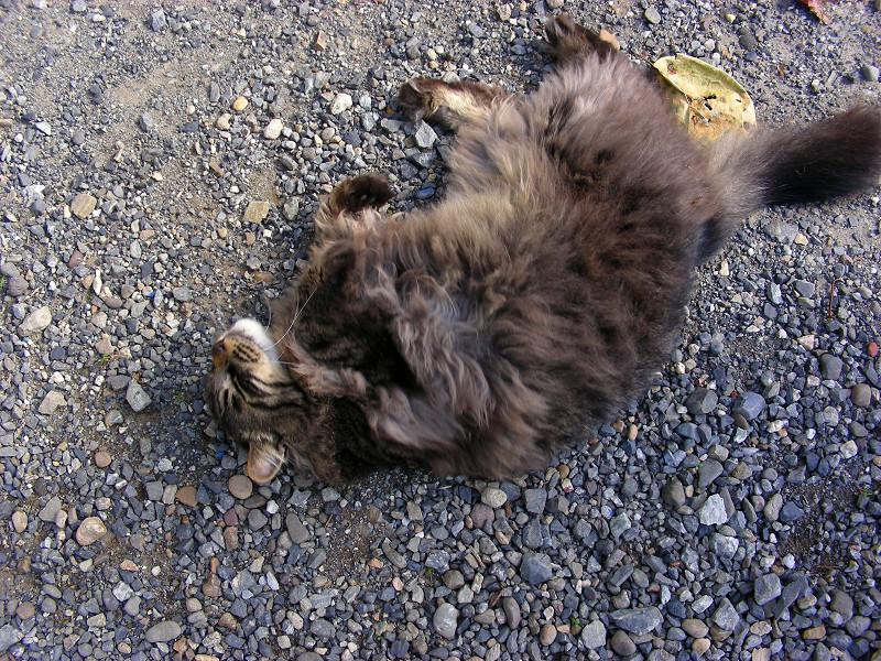 足元で転がる毛長の黒猫1