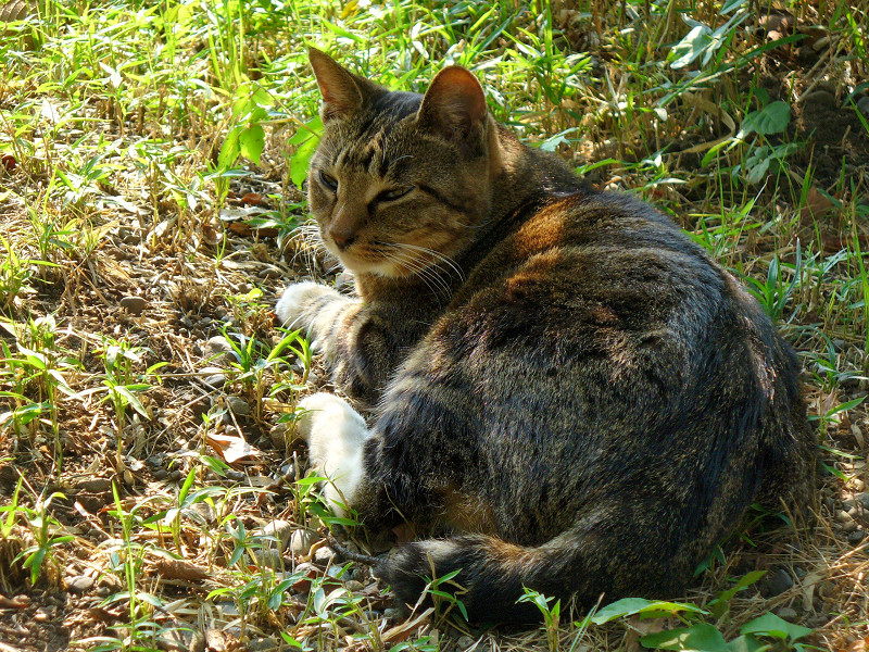 木漏れ日のキジ白猫1