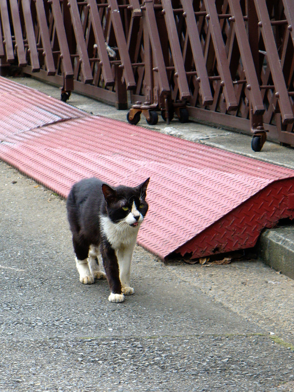 道を歩く黒白猫1