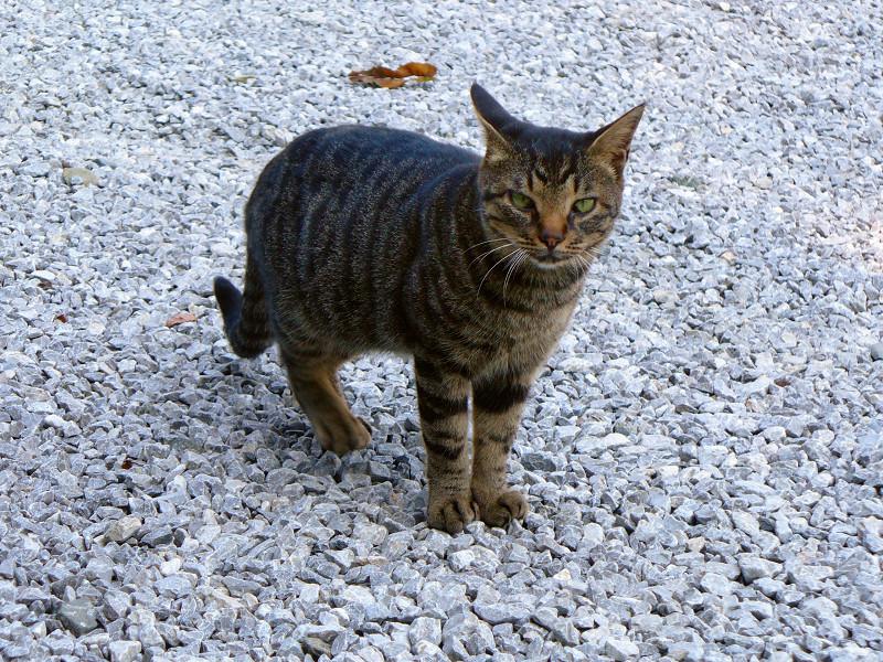 玉砂利とキジトラ猫1