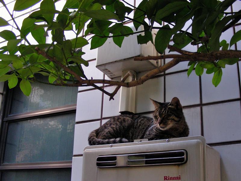 室外機Rinnaiとキジトラ猫2