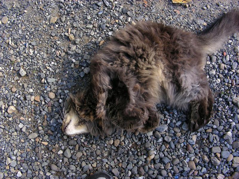 足元で転がる毛長の黒猫2