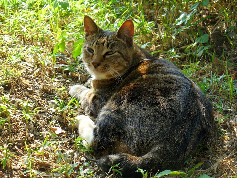 木漏れ日のキジ白猫2
