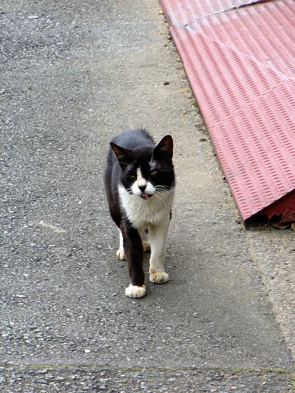 道を歩く黒白猫2