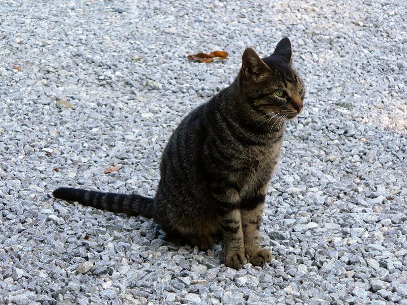 玉砂利とキジトラ猫2