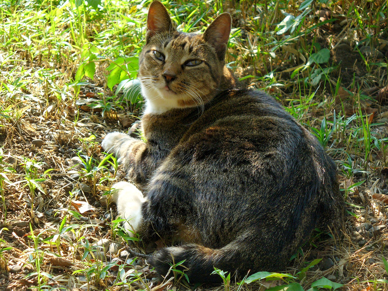 木漏れ日のキジ白猫3