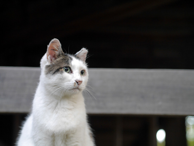 お堂の白キジ猫1