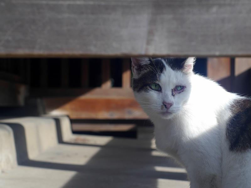 お堂縁の下の白キジ猫1