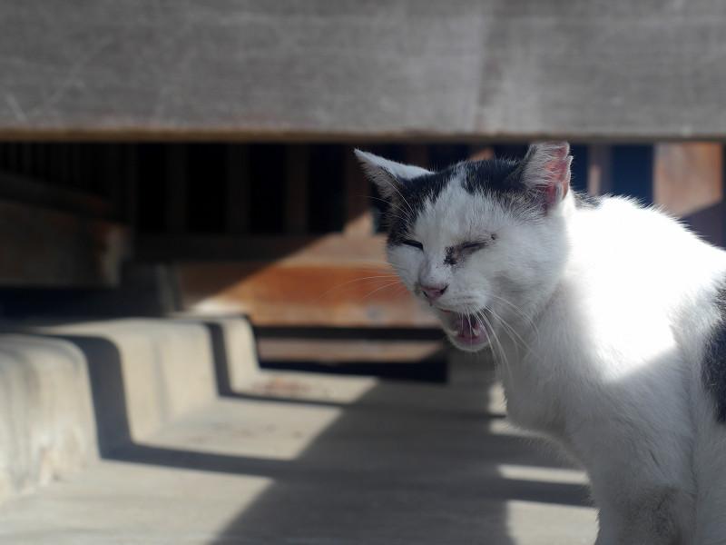 お堂縁の下の白キジ猫2
