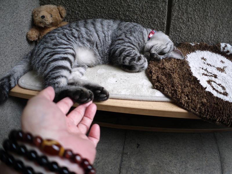 熟睡中のサバトラ猫1