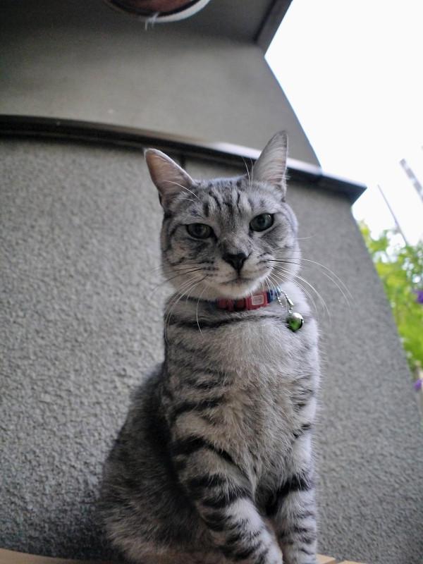 下から見上げたサバトラ猫1