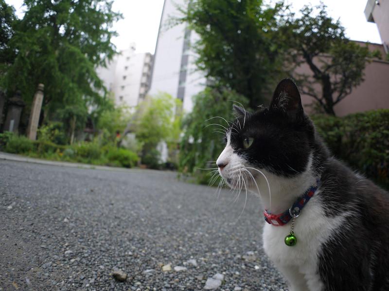 境内の黒白猫2