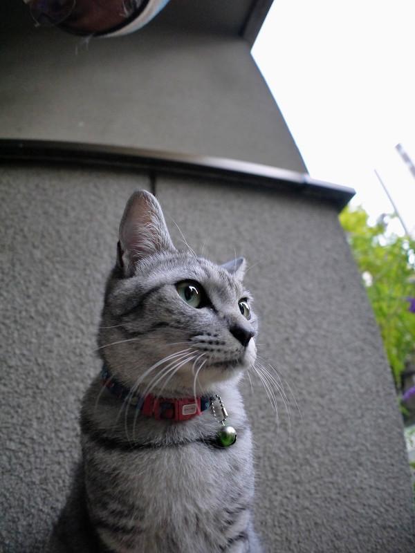 下から見上げたサバトラ猫2