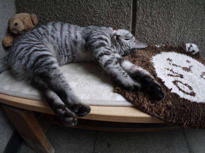 熟睡中のサバトラ猫4