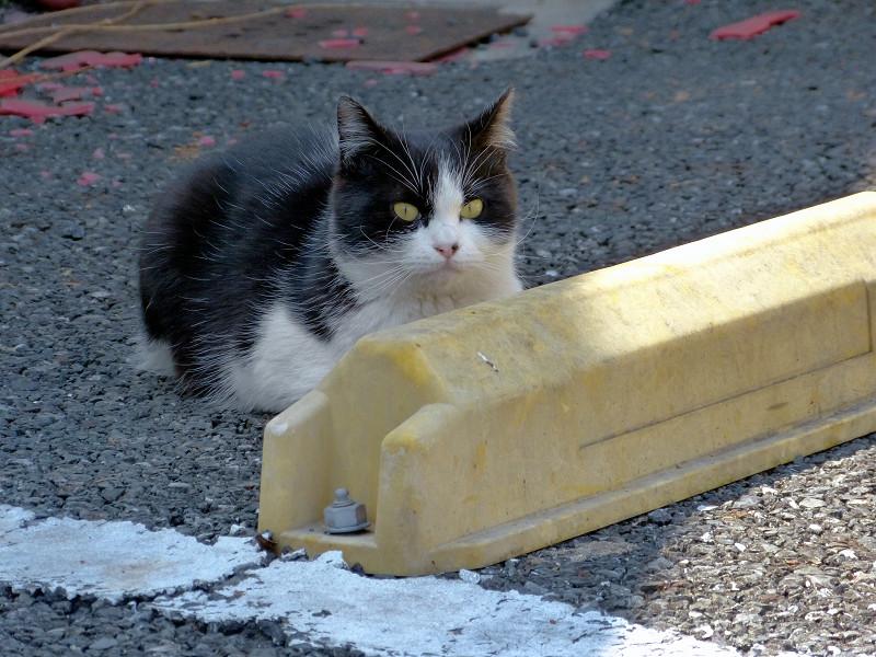 駐車場の車止めの黒白猫1