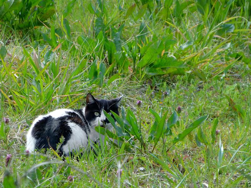 草むらと白黒猫1