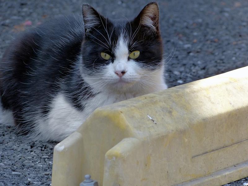 駐車場の車止めの黒白猫2