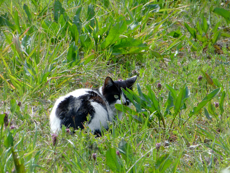 草むらと白黒猫2