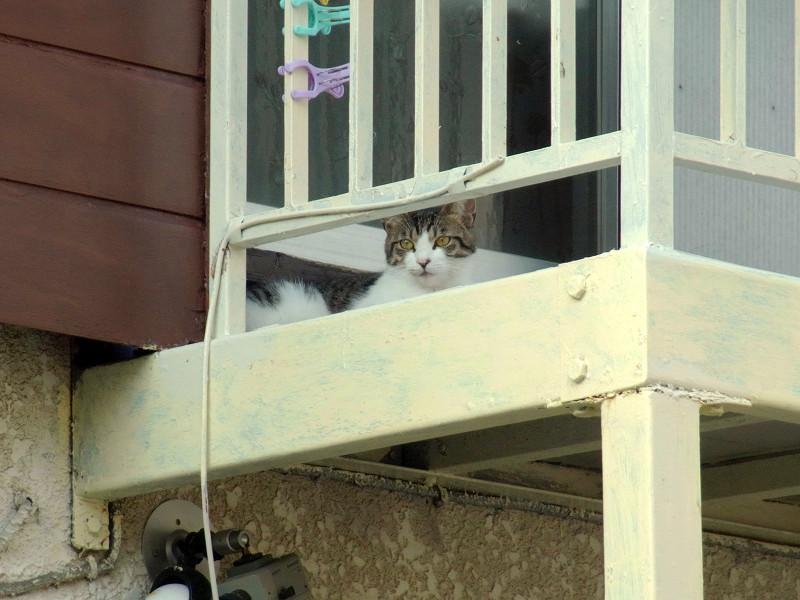 物干しのキジ白猫