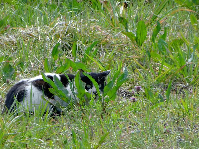 草むらと白黒猫3