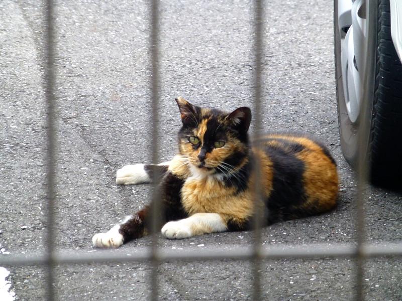 濃い色の三毛猫1
