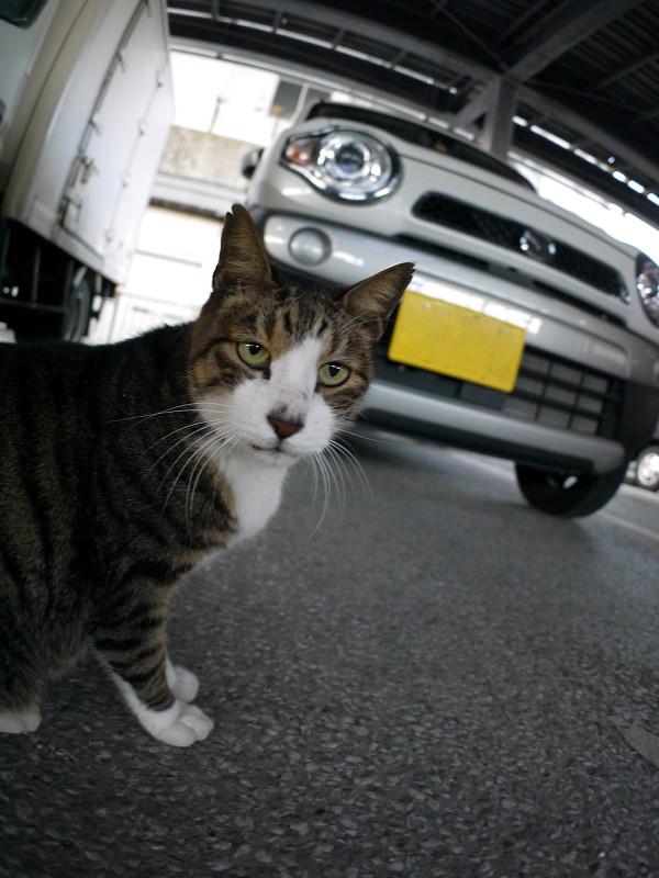 軽自動車とキジ白猫1