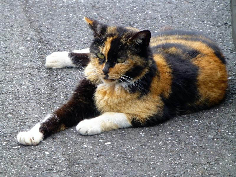 濃い色の三毛猫2