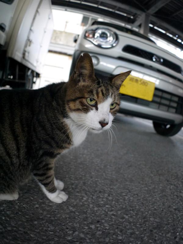 軽自動車とキジ白猫2