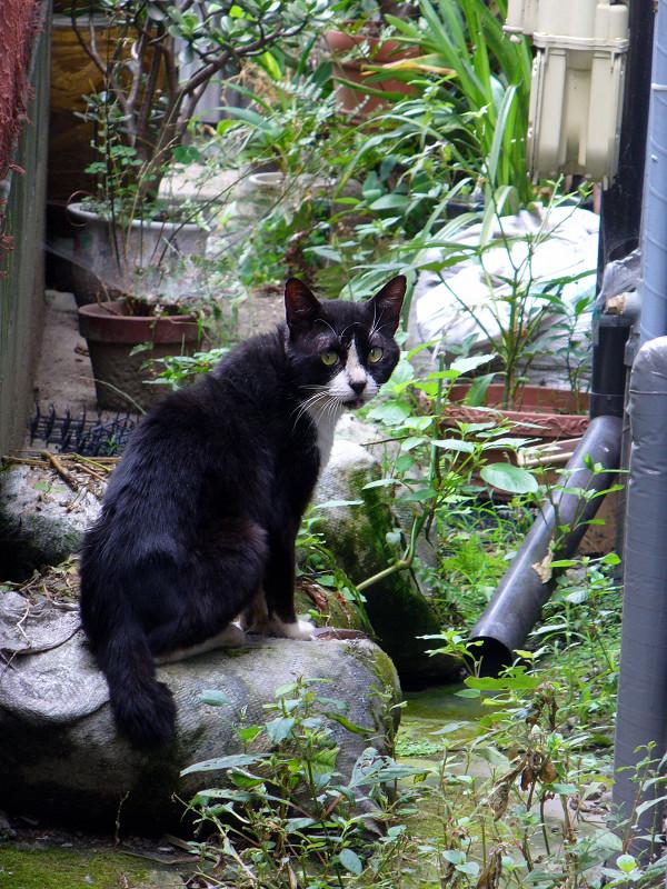 振り返った黒白猫1