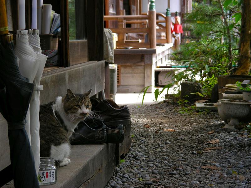 お寺のキジ白猫2