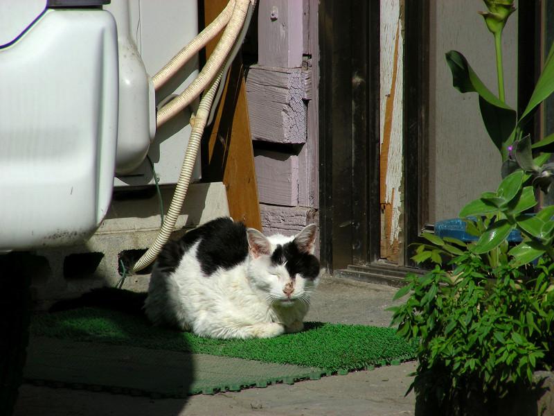 玄関先の白黒猫2