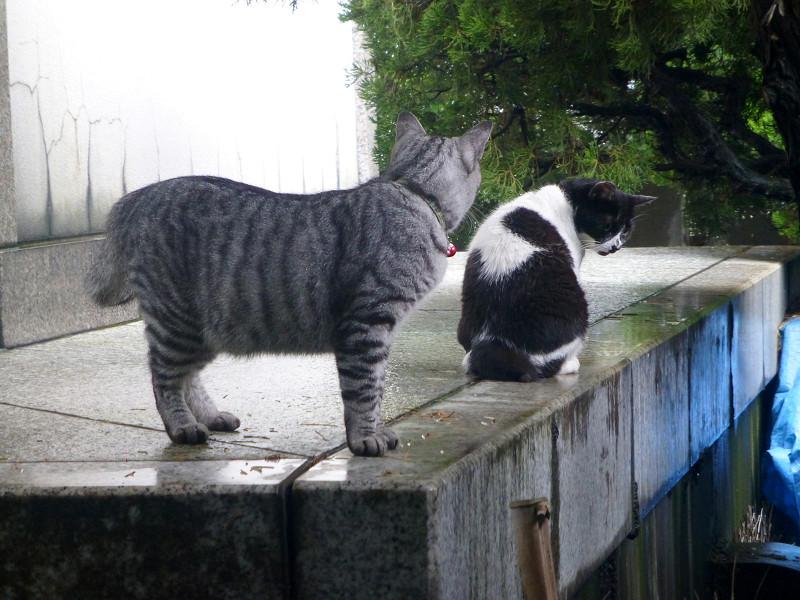 白黒猫とサバトラ猫1