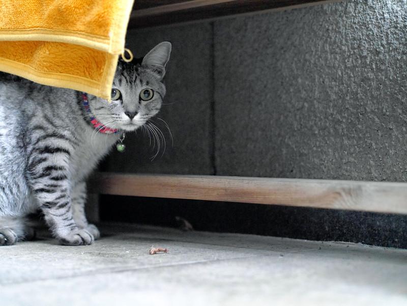 ベンチの下にサバトラ猫1