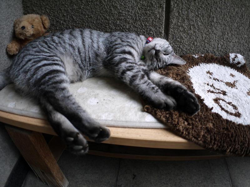 ぬいぐるみとサバトラ猫1