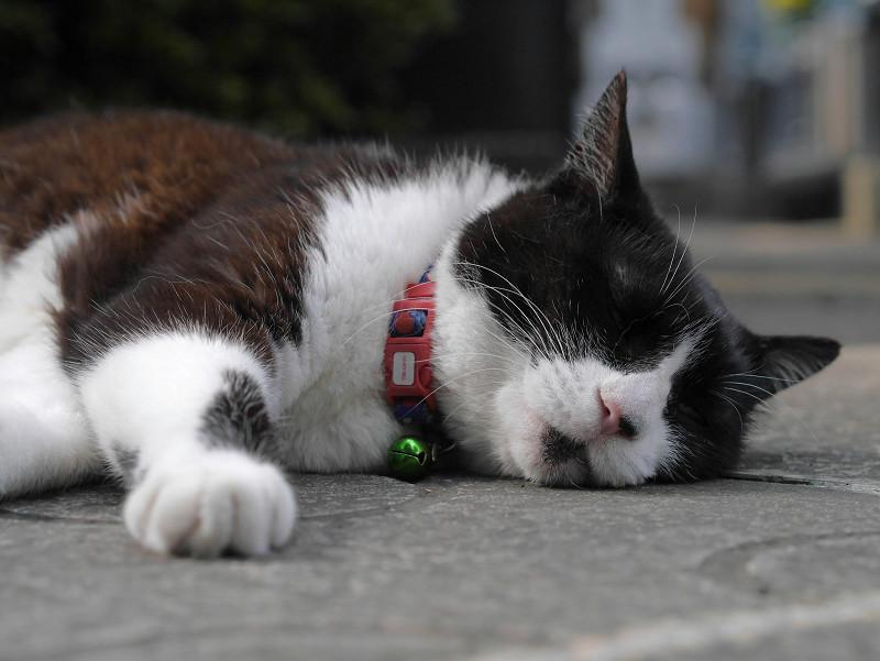 寝そべってる黒白猫2