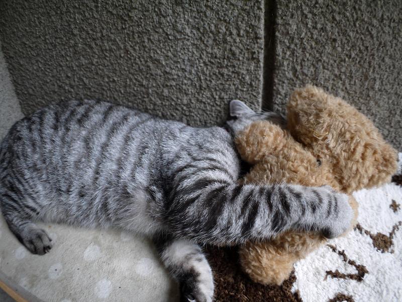 ぬいぐるみとサバトラ猫2