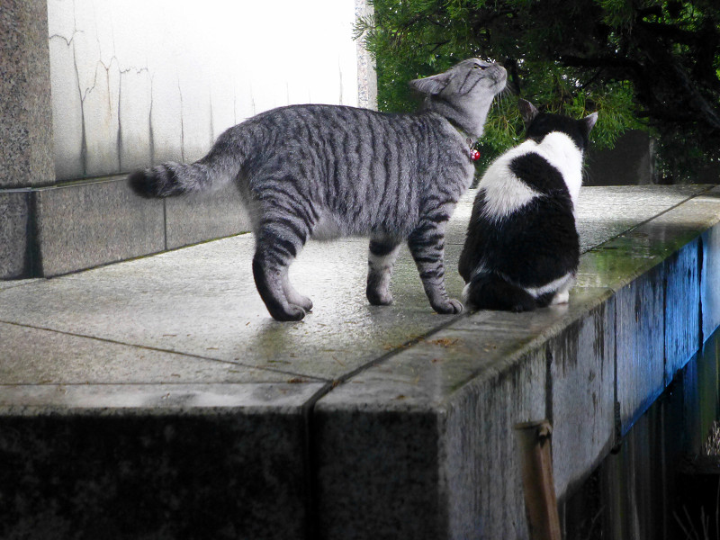 白黒猫とサバトラ猫3