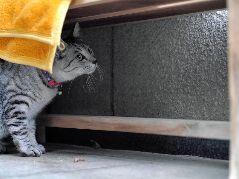 ベンチの下にサバトラ猫3
